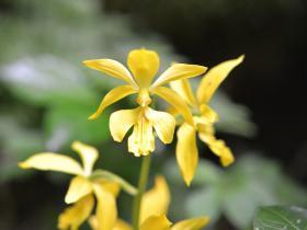 大黄花虾脊兰Calanthe sieboldii Decne.