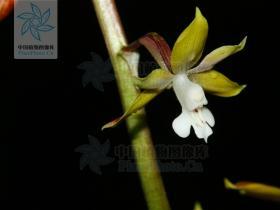 裂距虾脊兰Calanthe trifida Tang & F.T.Wang