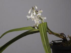 狭叶虾脊兰Calanthe angustifolia (Blume) Lindl.