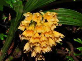 密花虾脊兰Calanthe densiflora Lindl.