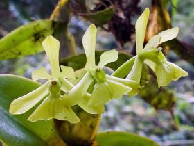 异形树兰Epidendrum difforme Jacq.