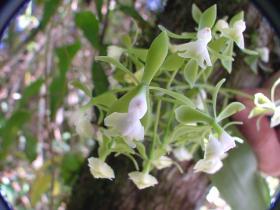 多花树兰Epidendrum floribundum Kunth