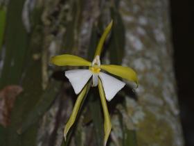 帕克森树兰Epidendrum parkinsonianum Hook.