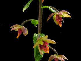 大叶火烧兰(原变种)Epipactis mairei Schltr. var. mairei