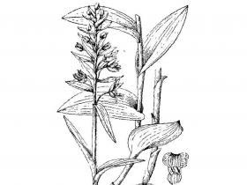 北火烧兰Epipactis xanthophaea Schltr.