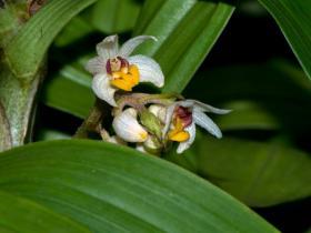 禾叶毛兰Eria graminifolia Lindl.