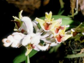 黄绒毛兰Eria tomentosa (K. D. Koen.) Hook. f.