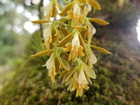 丛生树兰Epidendrum polyanthum Lindl.