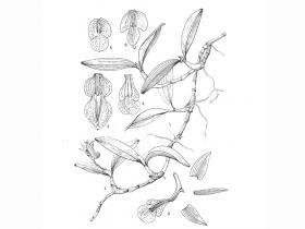 长爪厚唇兰Epigeneium treutleri (Hook. f.) Ormerod