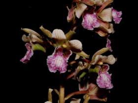 台湾美冠兰Eulophia bicallosa