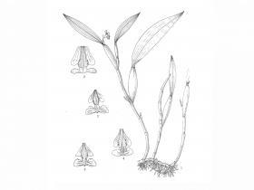 同色金石斛Flickingeria concolor Z. H. Tsi et S. C. Chen