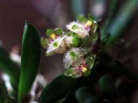 合欢盆距兰Gastrochilus rantabunensis C.Chow ex TPLin