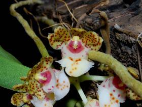 海南盆距兰Gastrochilus hainanensis Z. H. Tsi