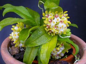 细茎盆距兰Gastrochilus intermedius (Griff. ex Lindl.) Kuntze