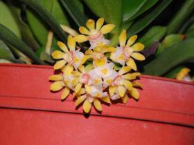 黄松盆距兰Gastrochilus japonicus (Makino) Schltr.