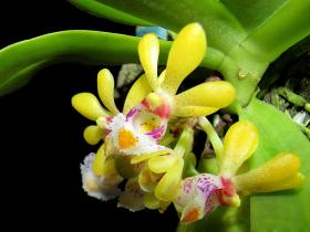 无茎盆距兰Gastrochilus obliquus (Lindl. ) Kuntze
