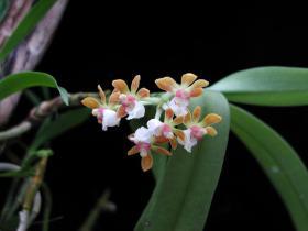 云南盆距兰Gastrochilus yunnanensis Schltr.