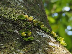 台湾盆距兰Gastrochilus formosanus (Hayata) Hayata