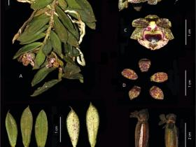 贡山盆距兰Gastrochilus gongshanensis Z. H. Tsi