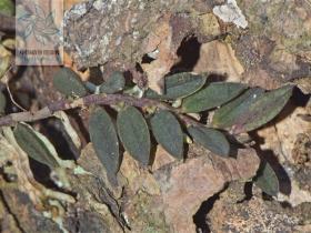 南川盆距兰Gastrochilus nanchuanensis Z. H. Tsi