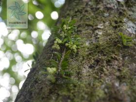 江口盆距兰Gastrochilus nanus Z. H. Tsi