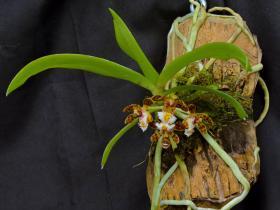 盆距兰属的全部品种有哪些?