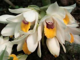 多花地宝兰Geodorum recurvum (Roxb.) Alston
