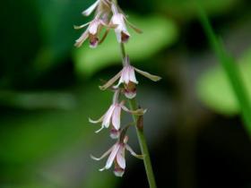 宝岛美冠兰Eulophia taiwanensis Hayata