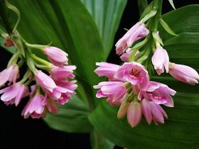 贵州地宝兰Geodorum eulophioides Schltr.