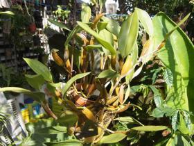 金石斛栽培技术与种植方法