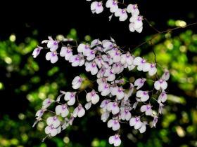 新堇兰Ionopsis utricularioides (Sw.) Lindl.
