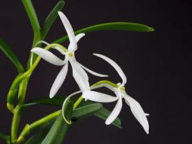 朱美兰属Jumellea Schltr.