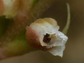 小小斑叶兰Goodyera yangmeishanensis T.P.Lin