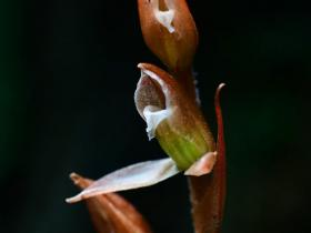 绿花斑叶兰图片及欣赏
