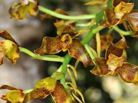 斑唇兰Grammangis ellisii (Lindl.) Rchb.f.