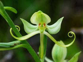 粉叶玉凤花Habenaria glaucifolia Bureau & Franch.