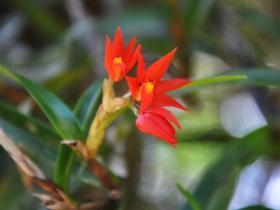 六瓣兰属Hexisea Lindl.