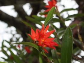 覆瓦六瓣兰Hexisea imbricata (Lindl.) Rchb.f.