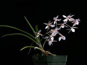 大根槽舌兰Holcoglossum amesianum (Rchb. F.) Christenson