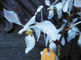 白唇槽舌兰Holcoglossum subulifolium (Rchb. F.) Christenson