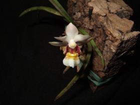 维西槽舌兰Holcoglossum weixiense X. H. Jin & S. C. Chen