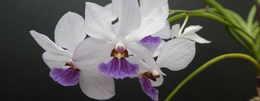 槽舌兰属有哪些品种种类?