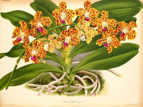 湿唇兰Hygrochilus parishii (Rchb.f.) Pfitzer