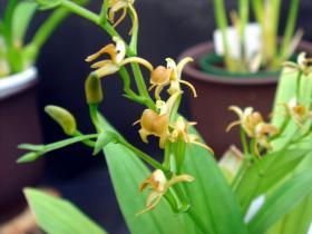 镰翅羊耳蒜Liparis bootanensis Griff.