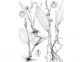保亭羊耳蒜Liparis bautingensis T.Tang et F.T.Wang