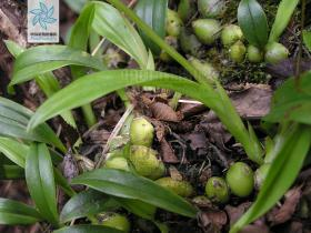 贵州羊耳蒜Liparis esquirolii Schltr.