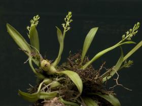 丛生羊耳蒜Liparis cespitosa (Thou.) Lindl.