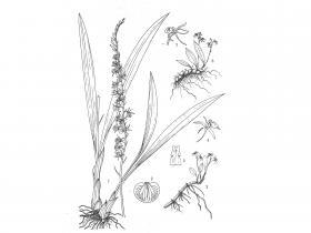 广东羊耳蒜Liparis kwangtungensis Schltr.