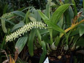 长茎羊耳蒜Liparis viridiflora (Blume) Lindl.
