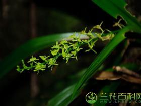 扇唇羊耳蒜Liparis stricklandiana Rchb.F.
